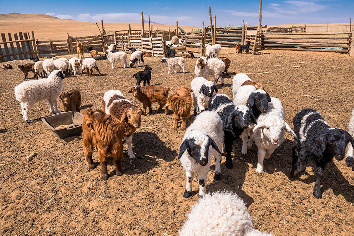 Mongolian nomad life