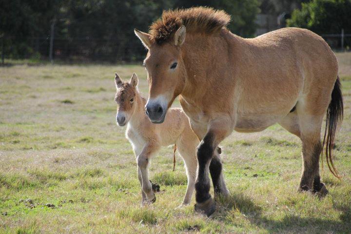 Wild horse in Mongolia